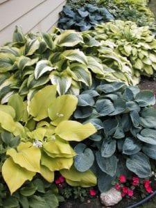 Hostas plants Omaha