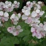 Geraniums - Rosanne