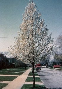 flowering pear trees landscaping omaha