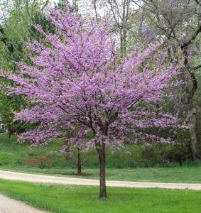 redbud flowering tree