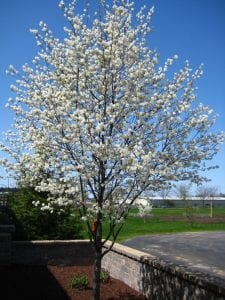 Flowering Serviceberry Trees